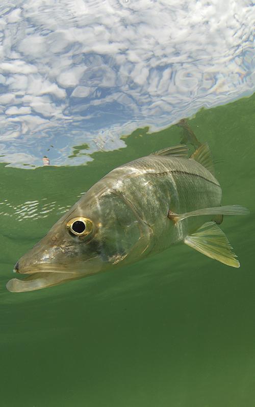 florida keys Snook fish